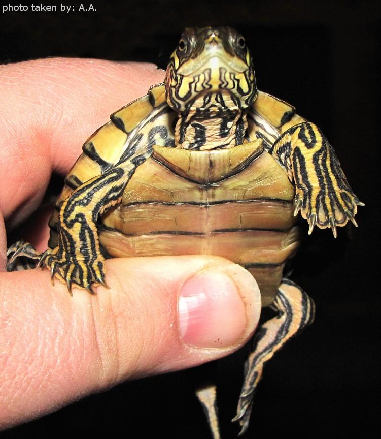 Sub-Adult Male Graptemys gibbonsi (Pascagoula Map Turtle)