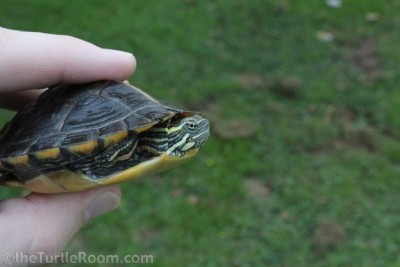 Juvenile Female Southern Painted Turtle