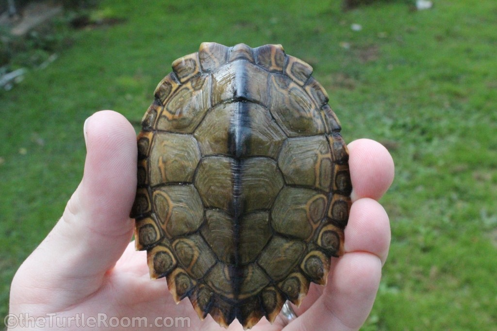 Juvenile Female Graptemys pearlensis (Pearl River Map Turtle)