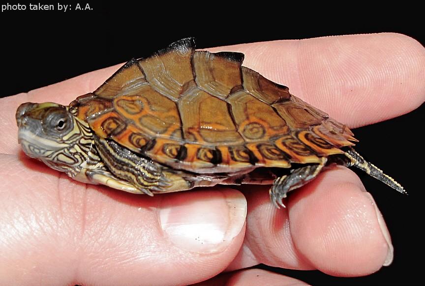 Yearling Female Graptemys gibbonsi (Pascagoula Map Turtle)