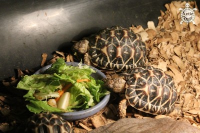 Juvenile Geochelone elegans - Indian Variant (Indian Star Tortoise)