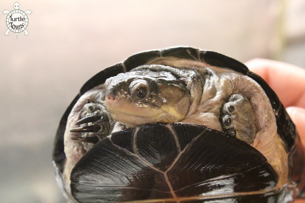 Pelusios chapini (Central African Mud Turtle)