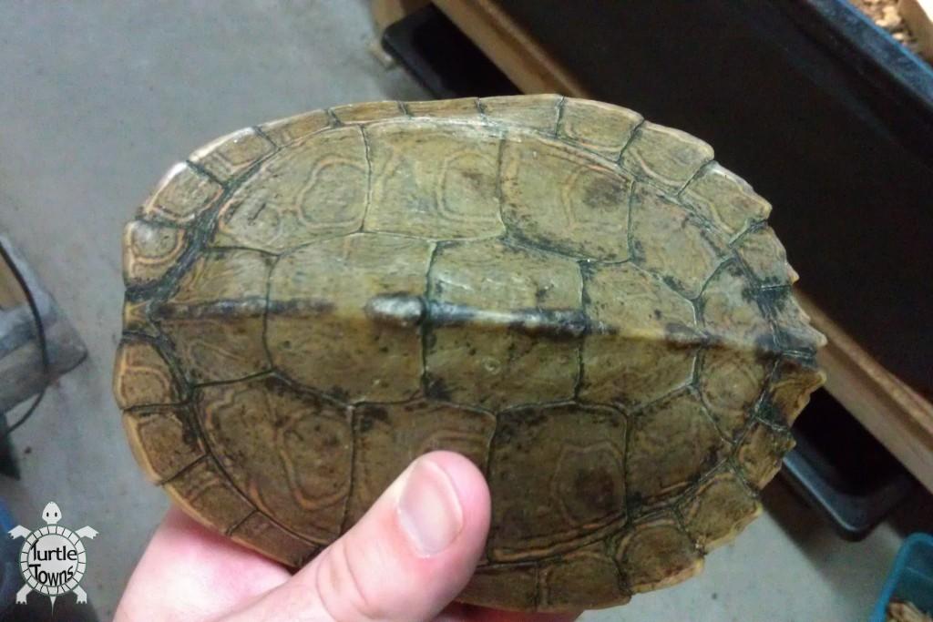 Adult Female Graptemys pseudogeographica kohnii (Mississippi Map Turtle)