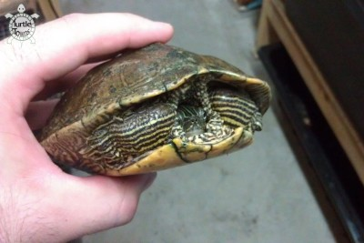 Adult Female Graptemys ouachitensis (Ouachita Map Turtle)