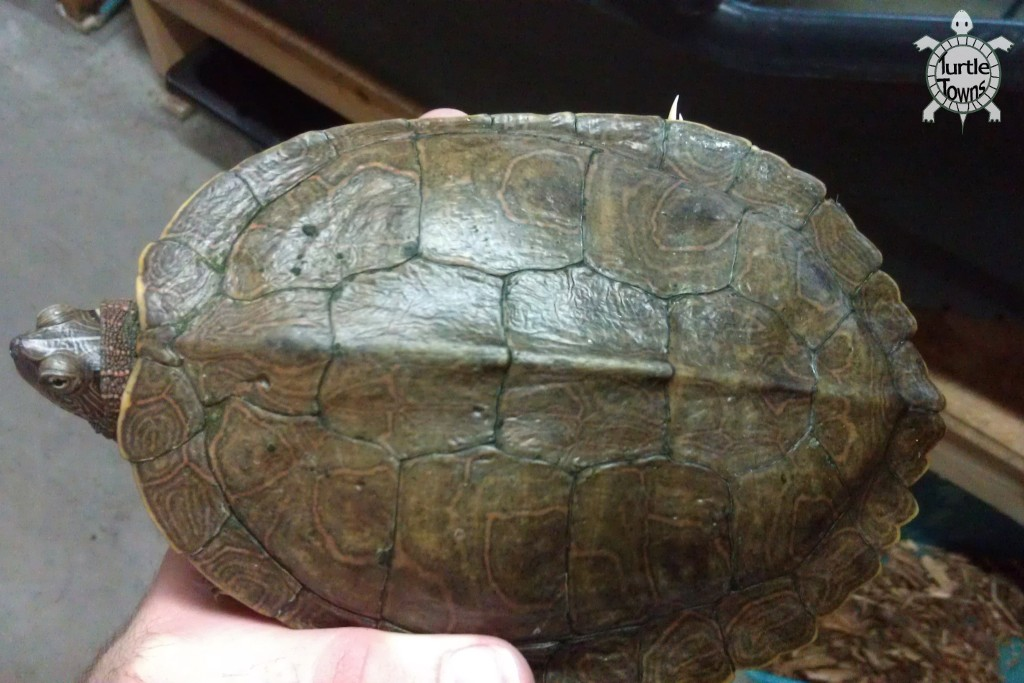 Graptemys pseudogeographica pseudogeographica (False Map Turtle)