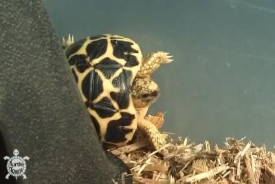 Hatchling Geochelone elegans - Indian Variant (Indian Star Tortoise)