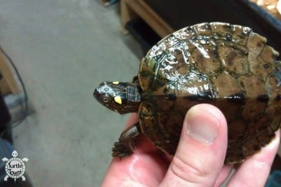Juvenile Female Graptemys ouachitensis (Ouachita Map Turtle)
