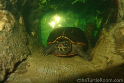 Adult Kinosternon baurii (3-Striped Mud Turtle)