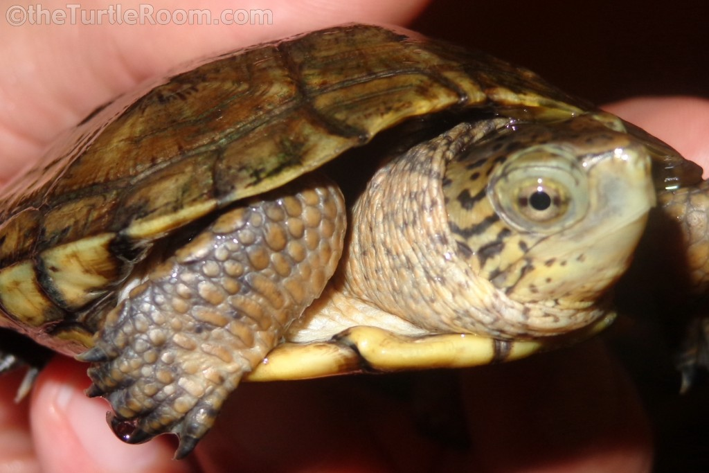 Juvenile Female Actinemys marmorata (Pacific Pond Turtle)