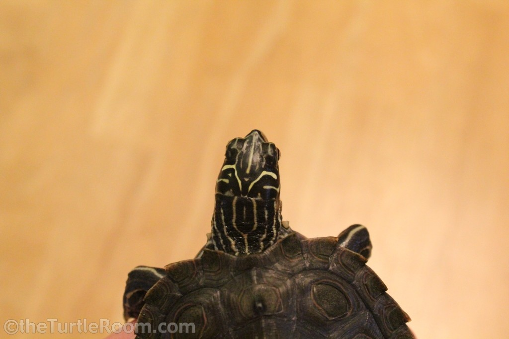 Yearling Male Graptemys nigrinoda delticola (Delta Map Turtle)