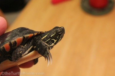 Adult Male Chrysemys dorsalis (Southern Painted Turtle)