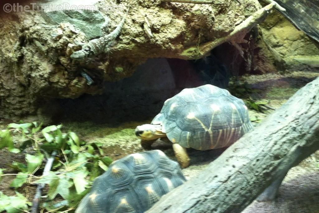 Adult Astrochelys radiata (Radiated Tortoise) - Bronx Zoo