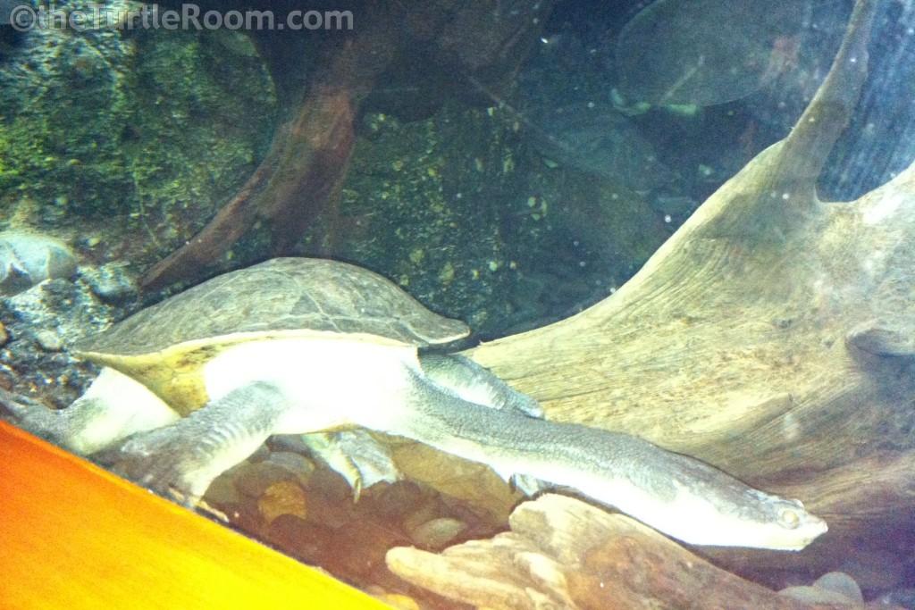 Adult Chelodina expansa (Broad-Shelled Long-Necked Turtle)