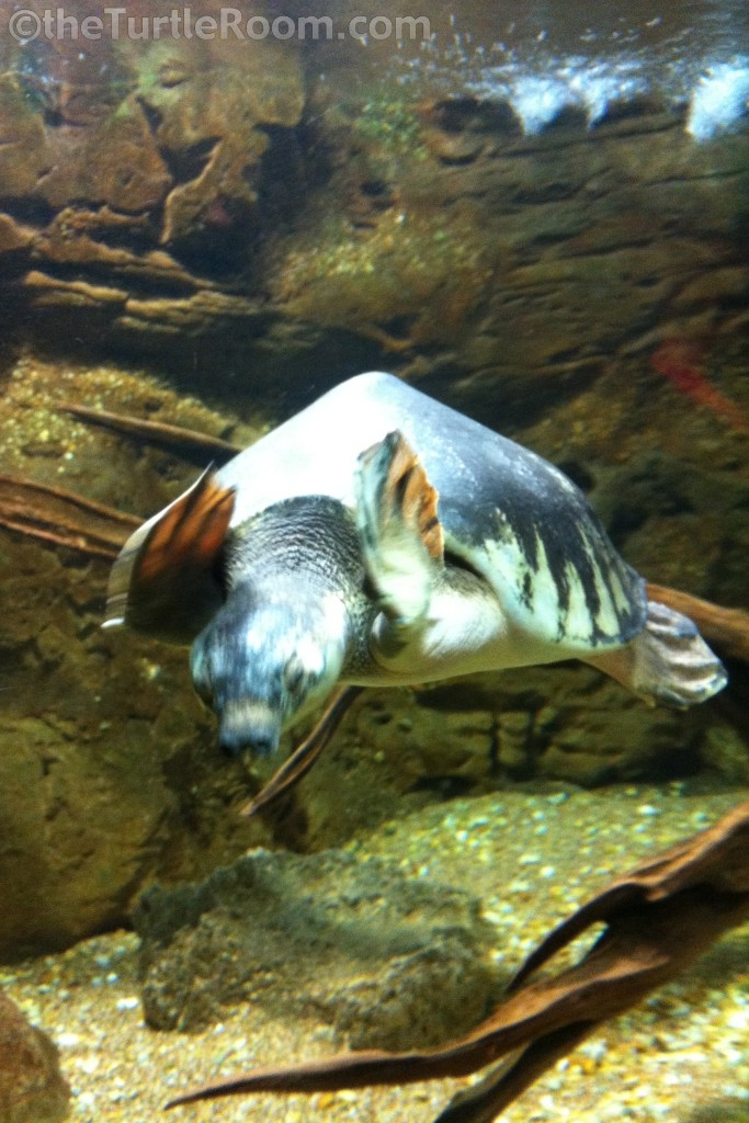 Adult Carettochelys insculpta (Fly River Turtle)