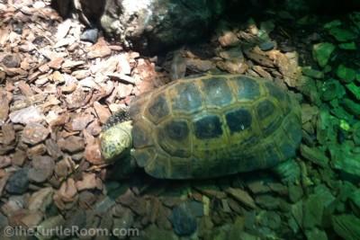 Adult Indotestudo forstenii (Forsten's Tortoise)