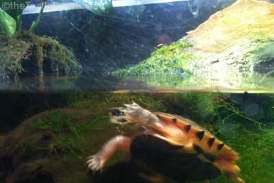 Juvenile Cuora trifasciata (Golden Coin Turtle)