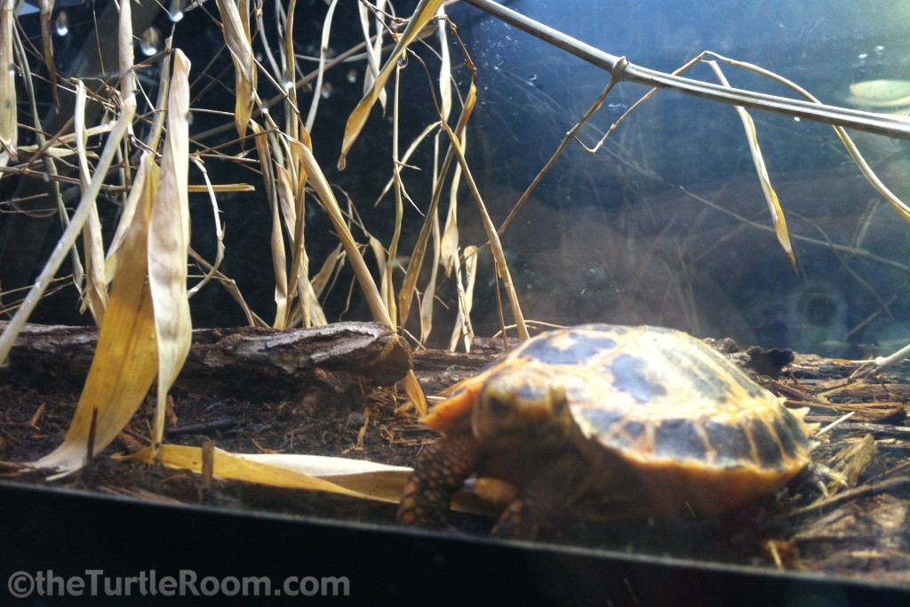 Hatchling Indotestudo forstenii (Forsten's Tortoise)