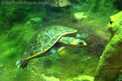 Adult Podocnemis erythrocephela (Red-Headed Amazon River Turtle)