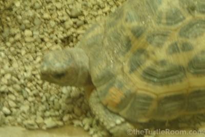 Adult Pyxis arachnoides arachnoides (Common Spider Tortoise) - Bronx Zoo