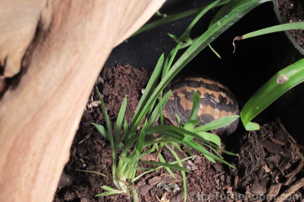 Yearling Pyxis arachnoides arachnoides (Common Spider Tortoise)