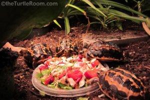 Juvenile Pyxis arachnoides (Spider Tortoise)
