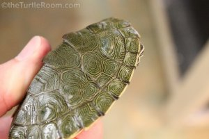 Adult Male Graptemys caglei (Cagle's Map Turtle)