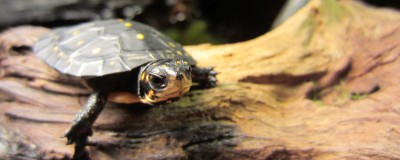 Hatchling Clemmys guttata (Spotted Turtle)
