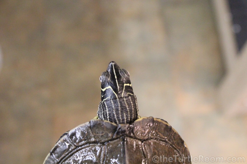 Adult Male Graptemys pseudogeographica kohnii (Mississippi Map Turtle)