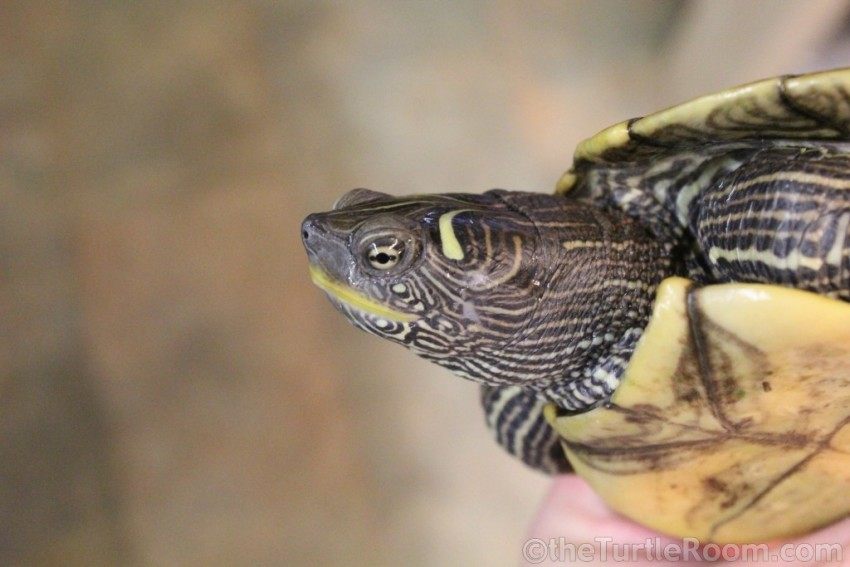Adult Female Graptemys pseudogeographica pseudogeographica (False Map Turtle)