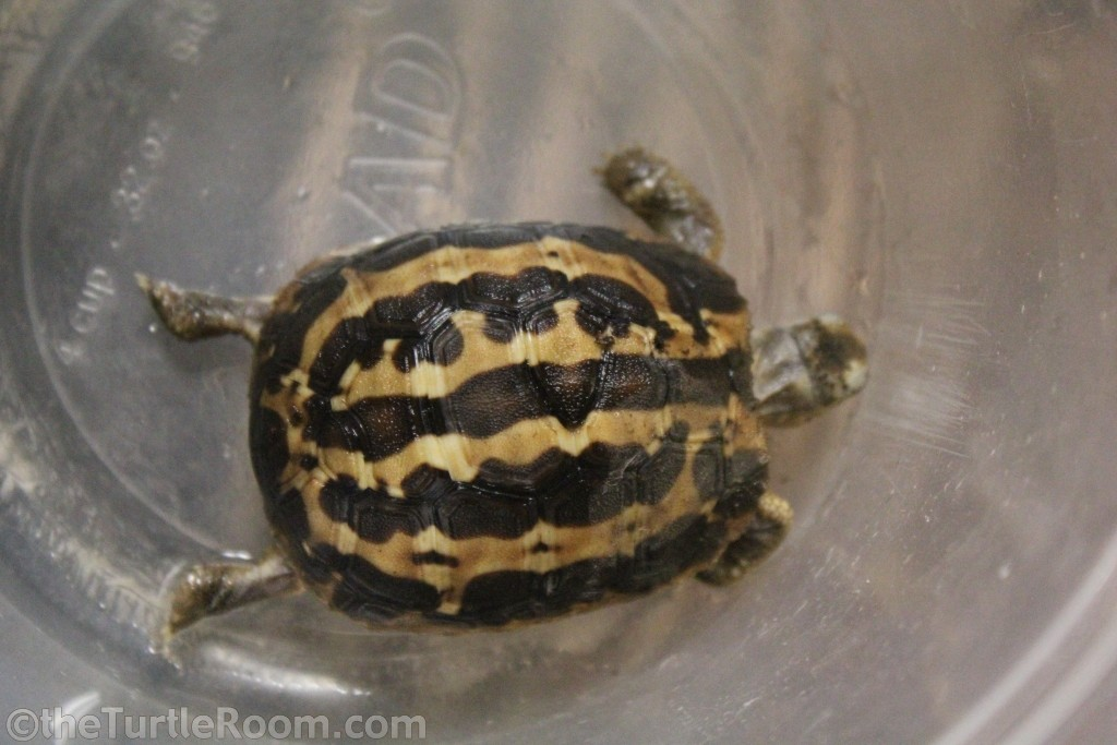 Yearling Pyxis arachnoides arachnoides (Common Spider Tortoise)