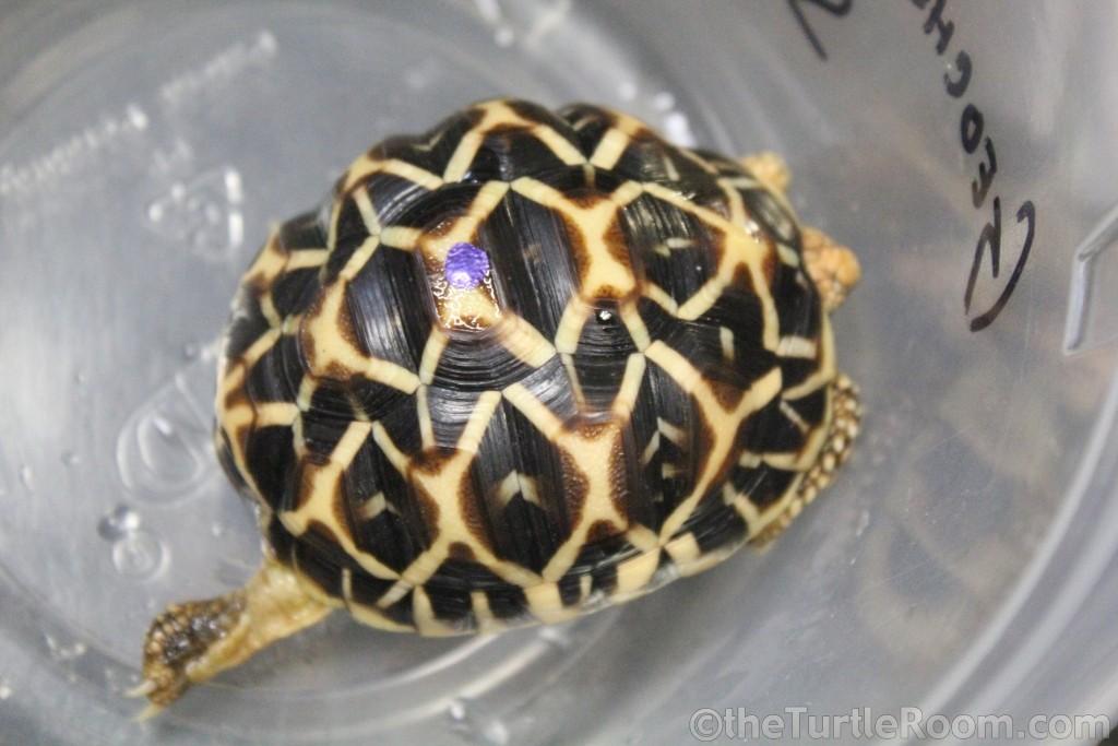 Yearling Geochelone elegans - Indian Variant (Indian Star Tortoise)