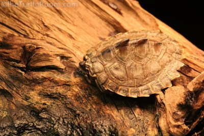Yearling Graptemys ernsti (Escambia Map Turtle)