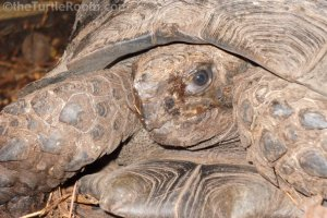 Adult Manouria emys phayeri (Brown Burmese Mountain Tortoise