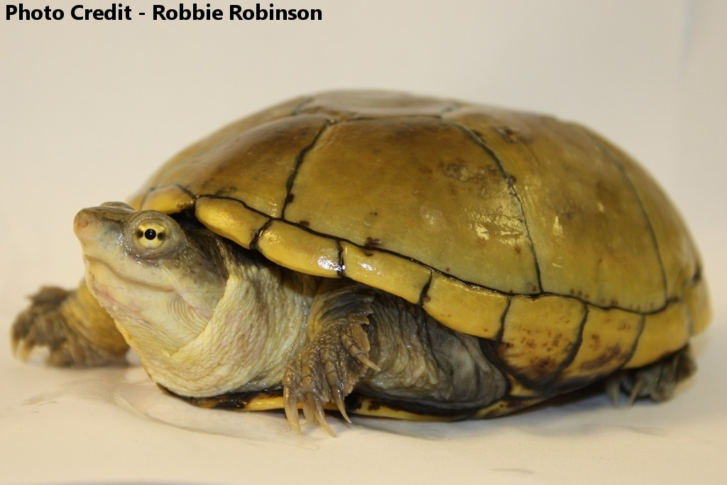 Kinosternon flavescens (Yellow Mud Turtle)