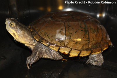 Adult Female Kinosternon flavescens (Yellow Mud Turtle)