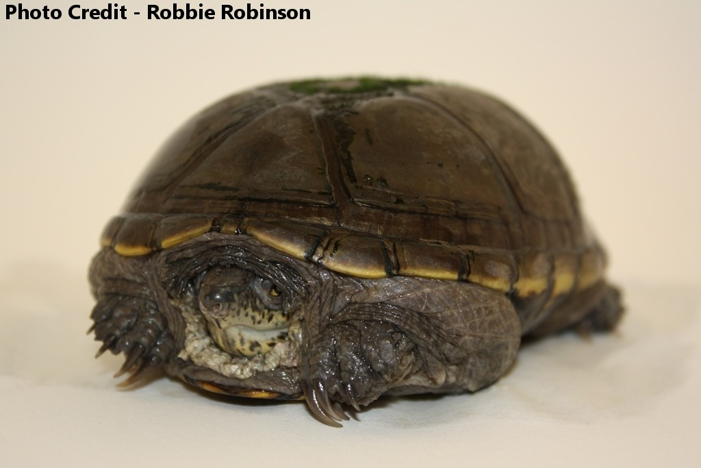 Adult Male Kinosternon flavescens (Yellow Mud Turtle)