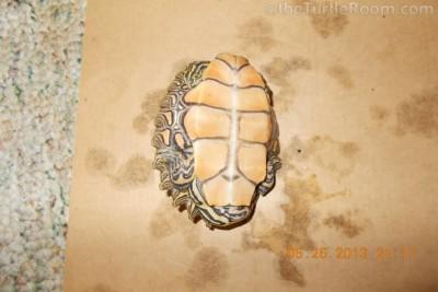 Adult Male Graptemys nigrinoda nigrinoda (Black-Knobbed Map Turtle)