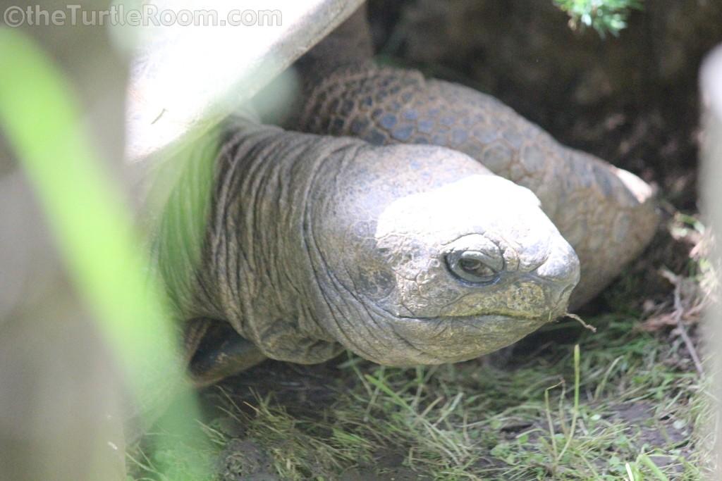 Adult Female Aldabrachelys gigantea (Aldabra Tortoise)