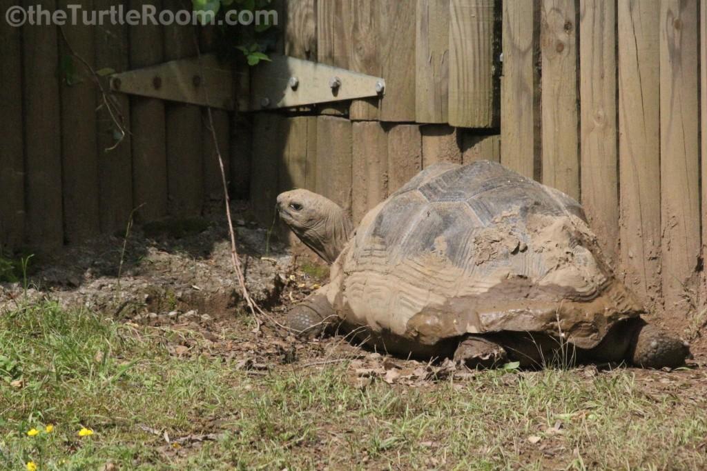 Juvenile Aldabrachelys gigantea (Aldabra Tortoise)