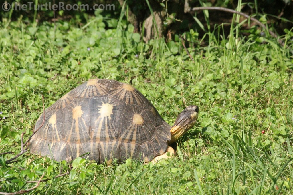 Adult Female Astrochelys radiata (Radiated Tortoise) - Knoxville Zoo