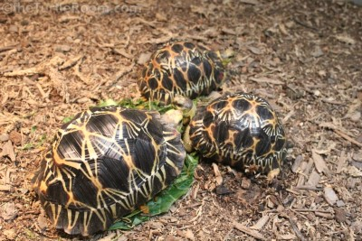Juvenile Astrochelys radiata (Radiated Tortoises) - Knoxville Zoo