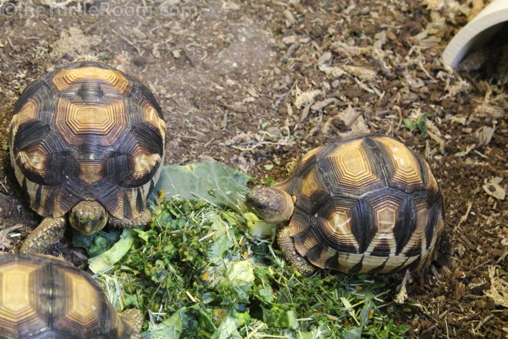 Juvenile Astrochelys yniphora (Ploughshare Tortoise)