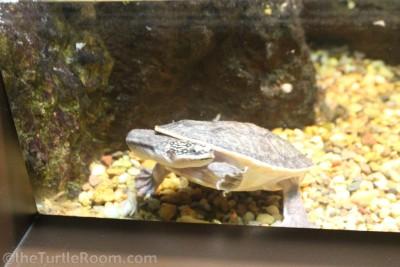 Juvenile Chelodina parkeri (Parker's Snakeneck Turtle)