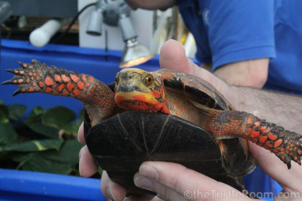 Adult Cuora galbinifrons (Indochinese Box Turtle)