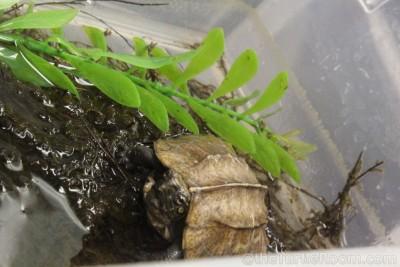 Hatchling Cuora mouhotii mouhotii (Northern Keeled Box Turtle)