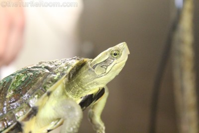 Adult Cuora pani (Pan's Box Turtle) - Knoxville Zoo