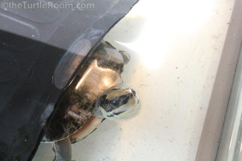 Adult Cuora trifasciata (Three-Striped Box Turtle)