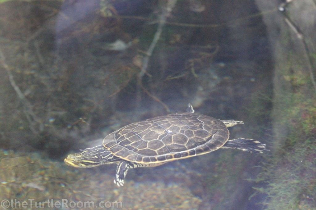 Adult Deirochelys reticularia reticularia (Eastern Chicken Turtle)