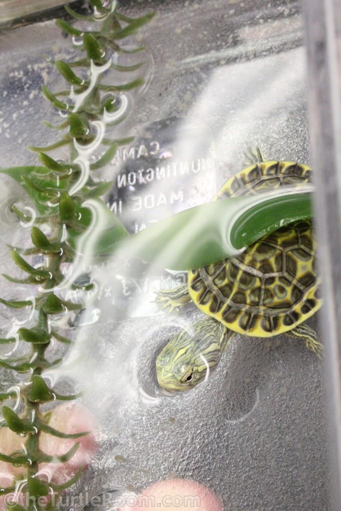 Hatchling Deirochelys reticularia reticularia (Eastern Chicken Turtle)