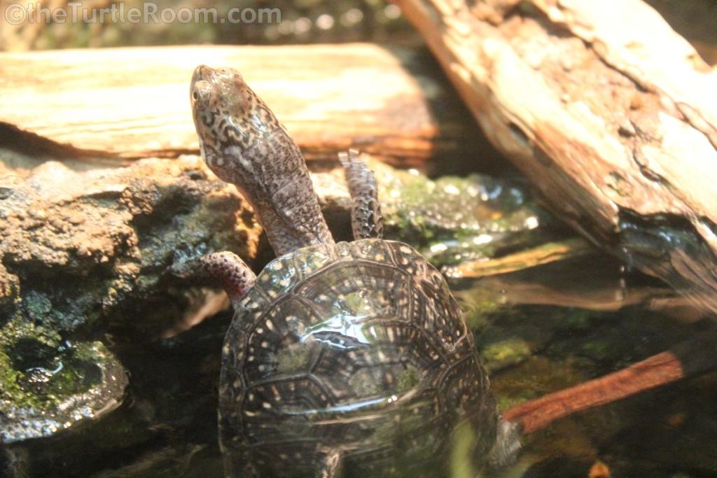 Hatchling Emydoidea blandingii (Blanding's Turtle)